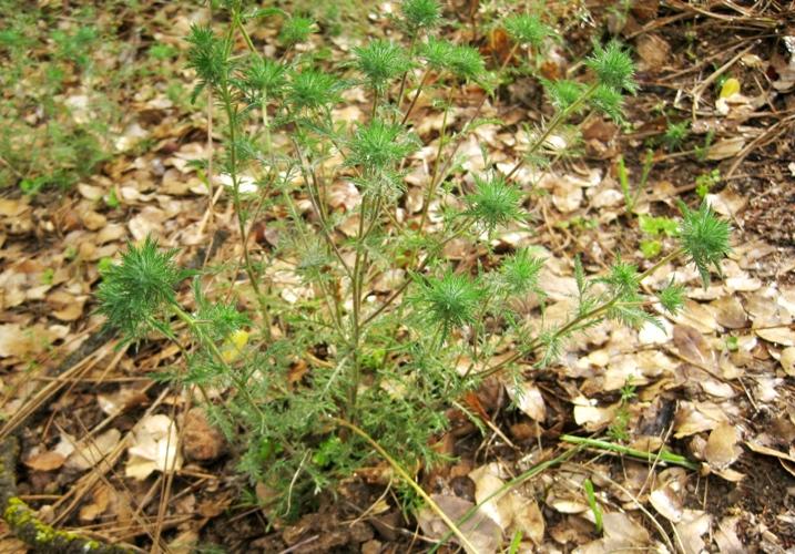 Downy Pincushionplant, Navarretia pubescens