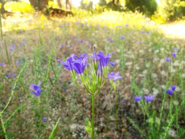 Brodiaea elegans is found is meadows and open woodlands