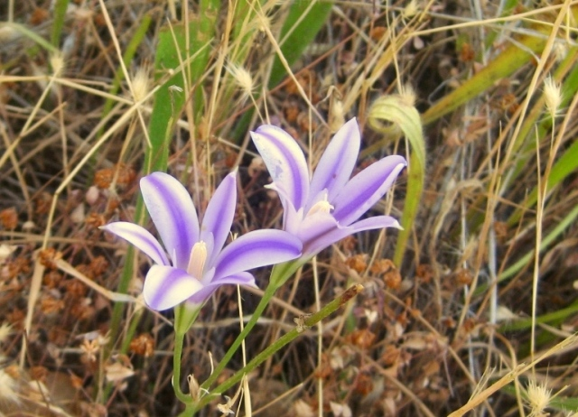 Elegant Brodiaea can be distinguished by white pointed stamen