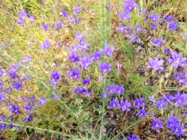 A sea of lavender-blue, they grow thickly on this dry slope