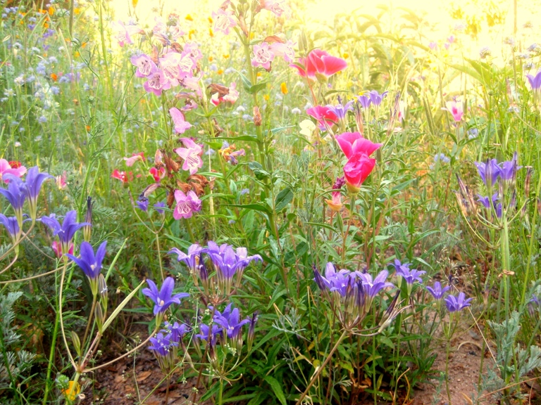 All the wild color make the Brodiaea look subdued.