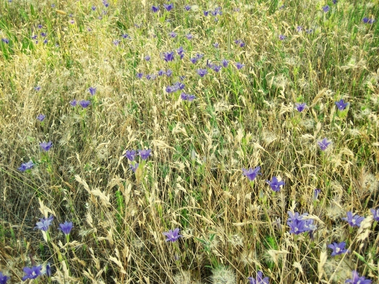 Mixed with dogtail grass and tarweed sprouts in the field