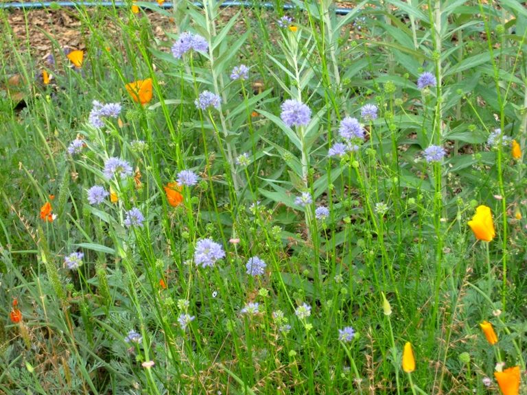Globe Gilia contrasts well with poppies