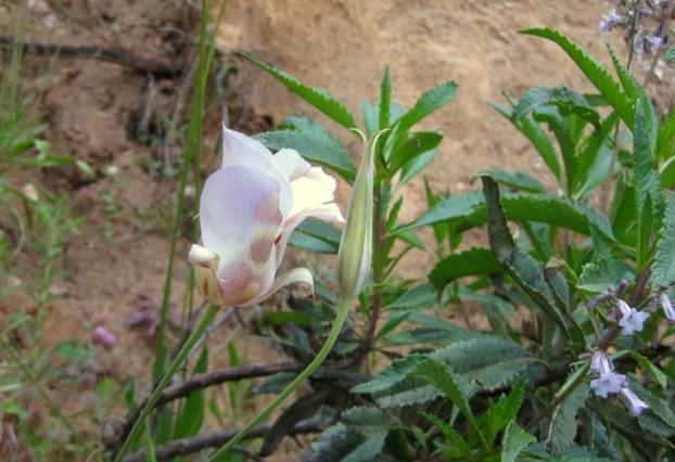 Mariposa Lily, Calochortus superbus