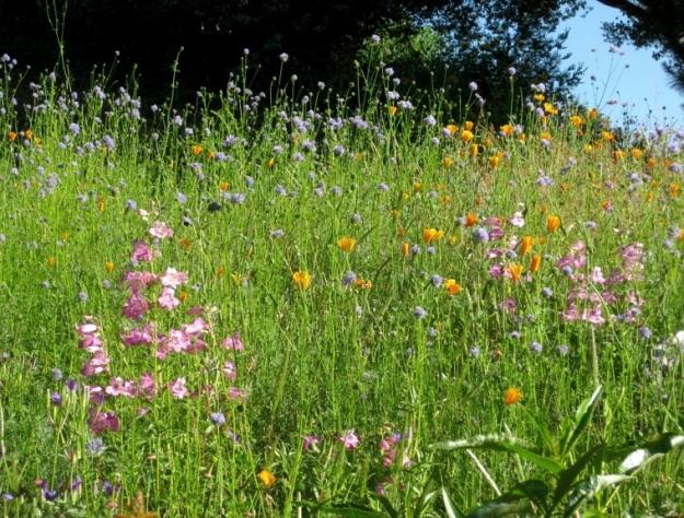 Meadow flowers with perennial penstemons around edge