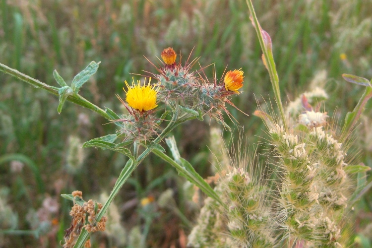 Napa star thistle flower