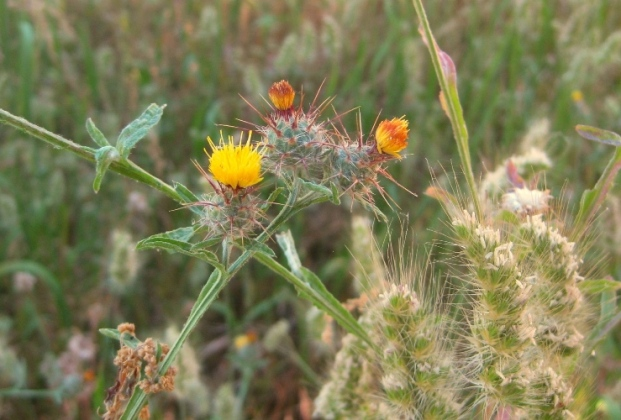 Napa star thistle flower