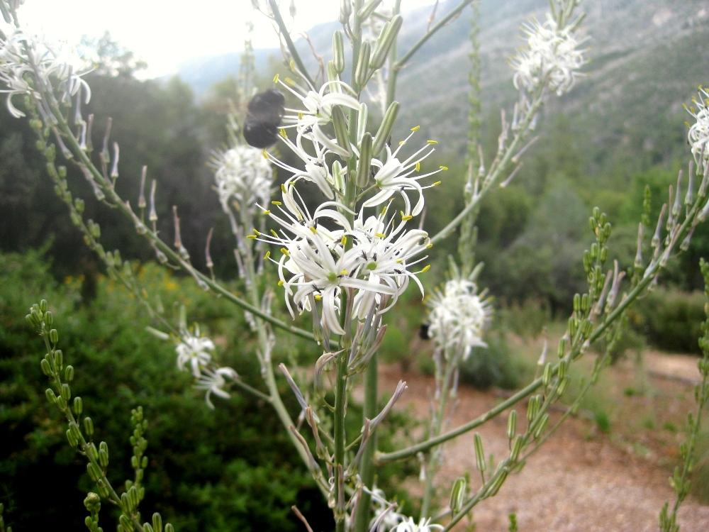 Garden Bush: Soap Plant In Full Bloom