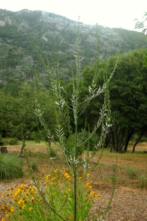 Soap plant inflorescence 10am June 28