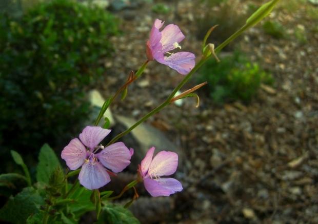 Speckled fairyfans, Clarkia cylindrica subsp. Clavicarpa