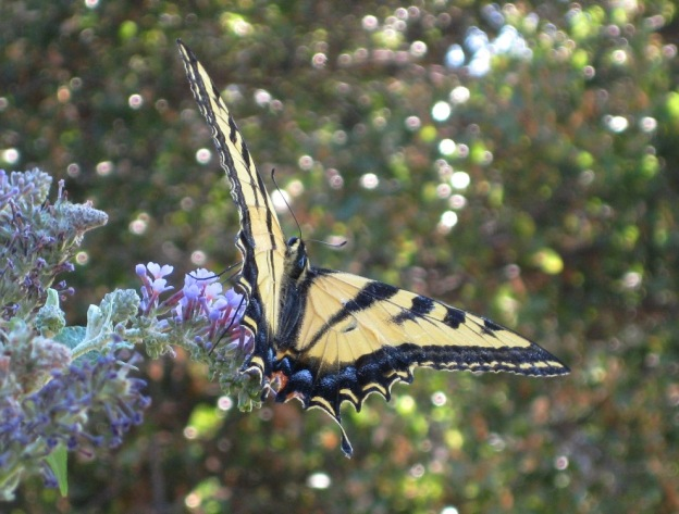 Swallowtail matches a bit of the lavender-blue flowers
