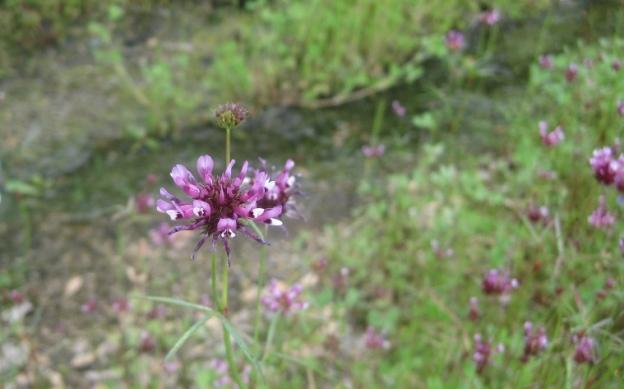 Tomcat Clover, Trifolium willdenovii