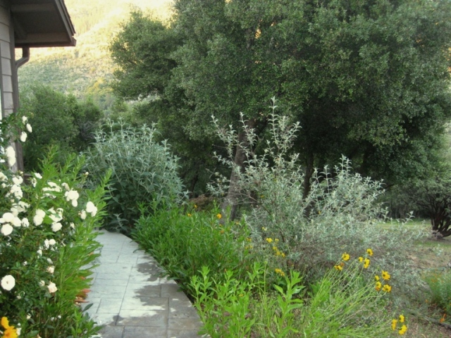 Two Buddleias in mid June