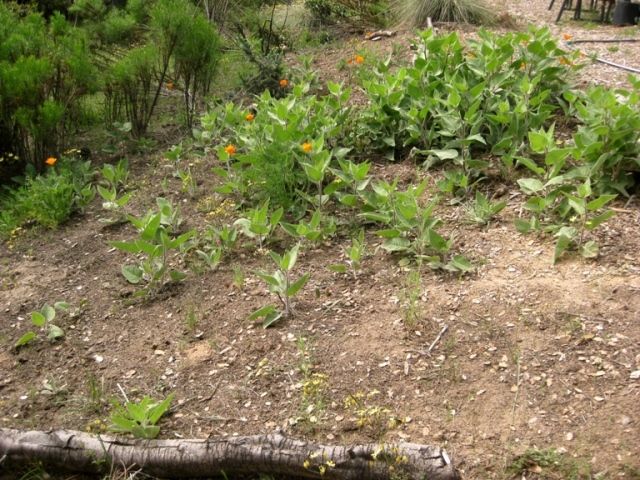 Weeding the wyethia patch definitely encourages more. Most weeds are Hedge parsley and bedstraw and English plantains