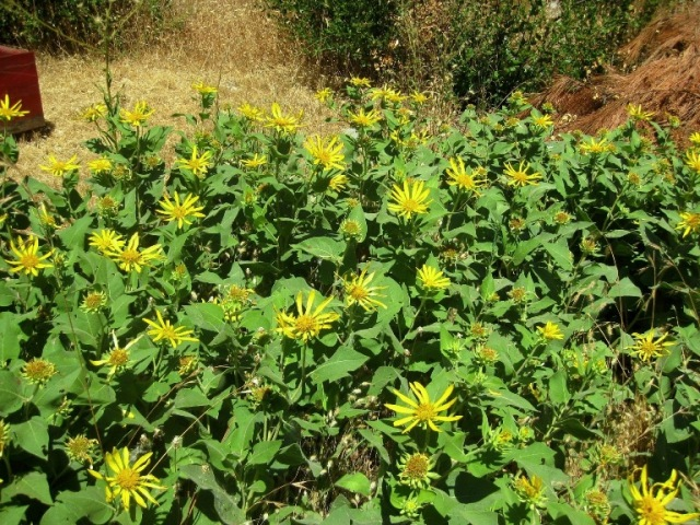 Wyethia elata--Hall's Mule Ears