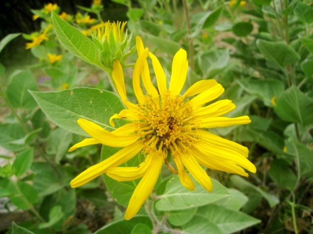Wyethia wild sunflower