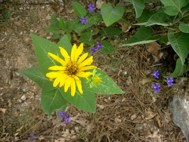 Wyethia with brodiaea
