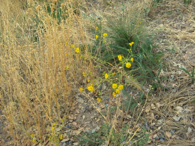 Part stomped down leaving heermann's tarweed, Yarrow and Muhly grass,...cool!