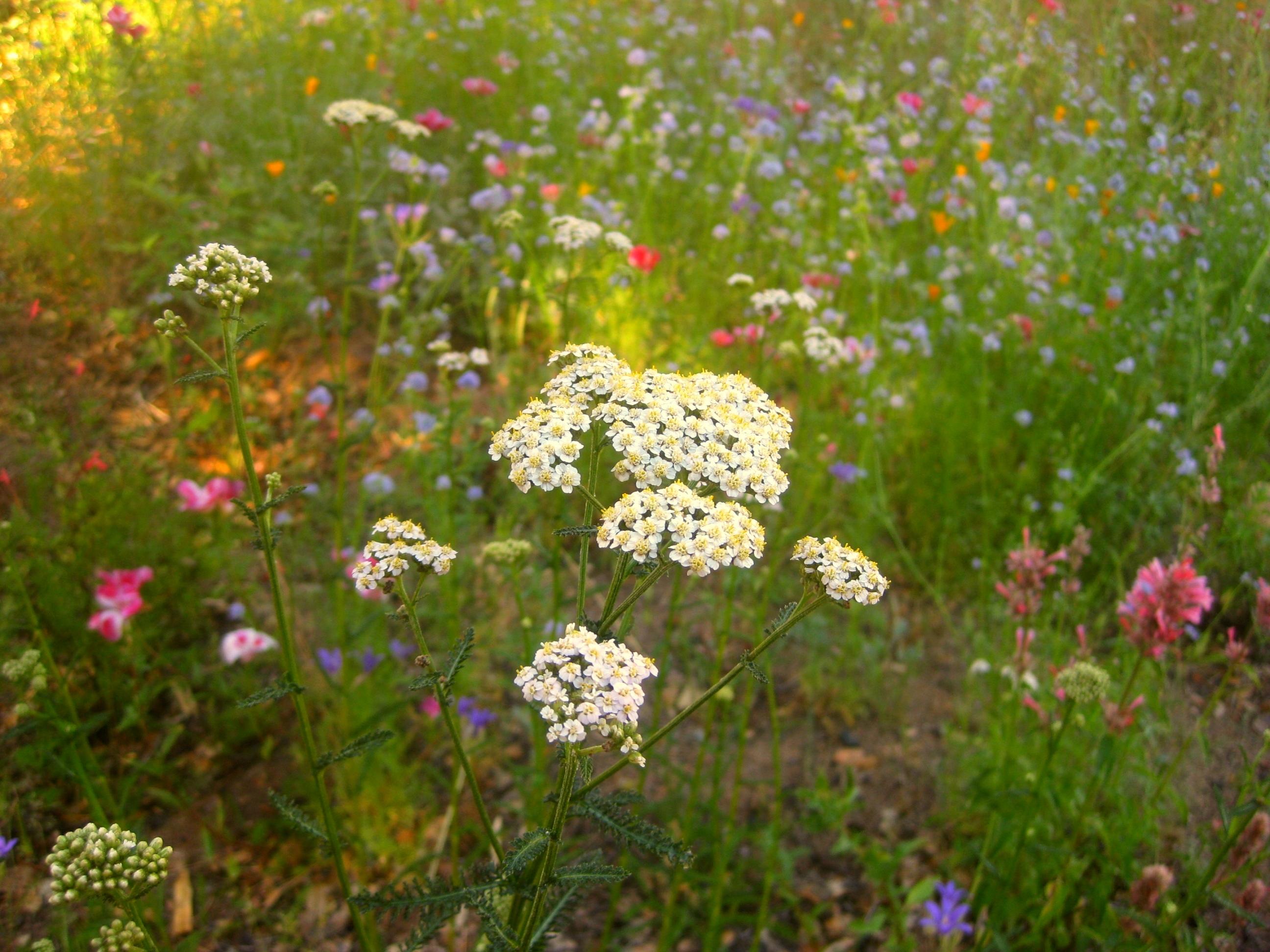 Midsummer meadow
