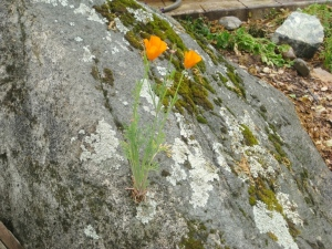 May- Poppy on the simplest of rock gardens