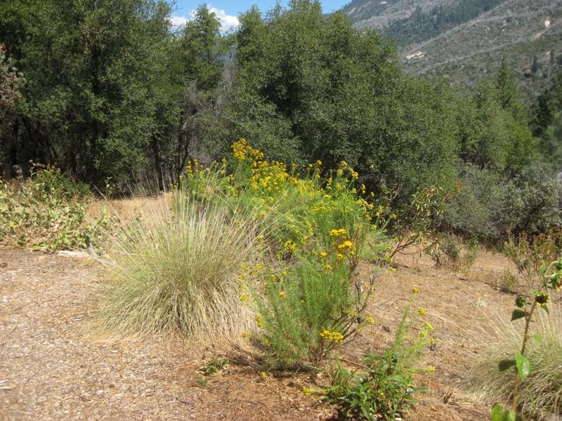 Endemic Goldenfleece Ericameria arborescens and planted Deergrass, Muhlenbergia rigens