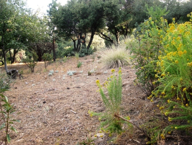 Natural meadow, planted with only CA natives, sage, Needle grass, CA fuchsia and monkey flower