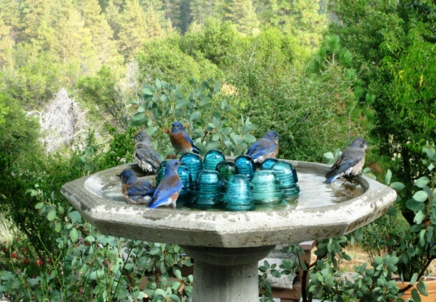 The bird bath has attracted a flock of Western bluebirds