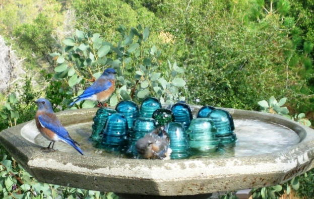 Vivid cobalt blue make these little birds a pleasure to see!