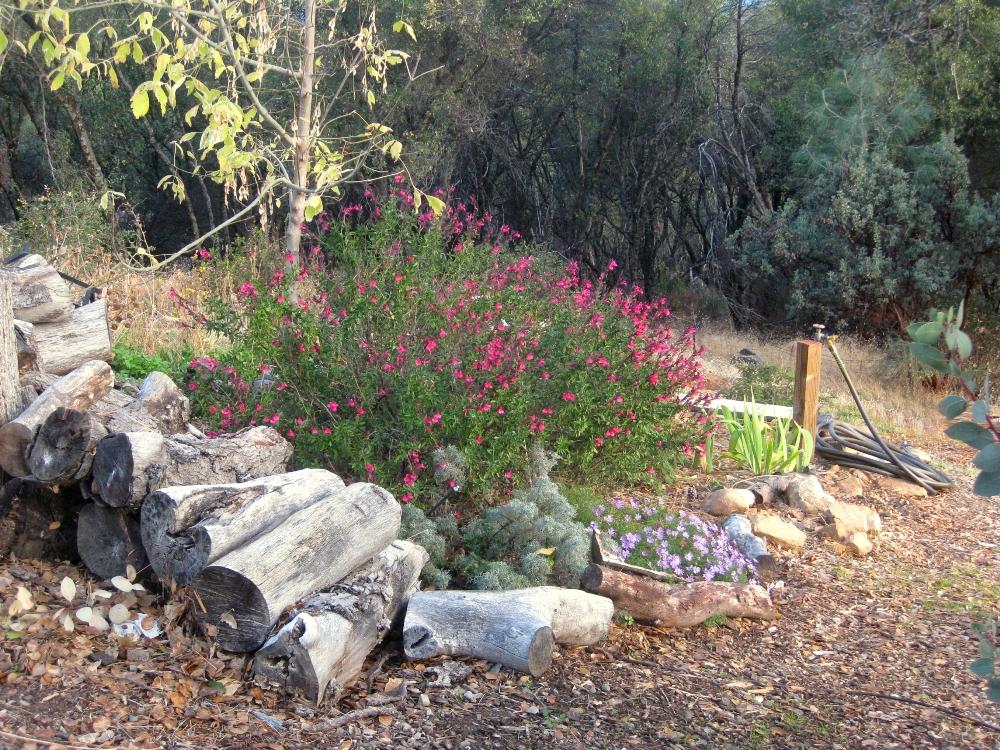 Magenta Autumn sage, Salvia greggii 'Lipstick', in the box Elder bed glows against the forest beyond