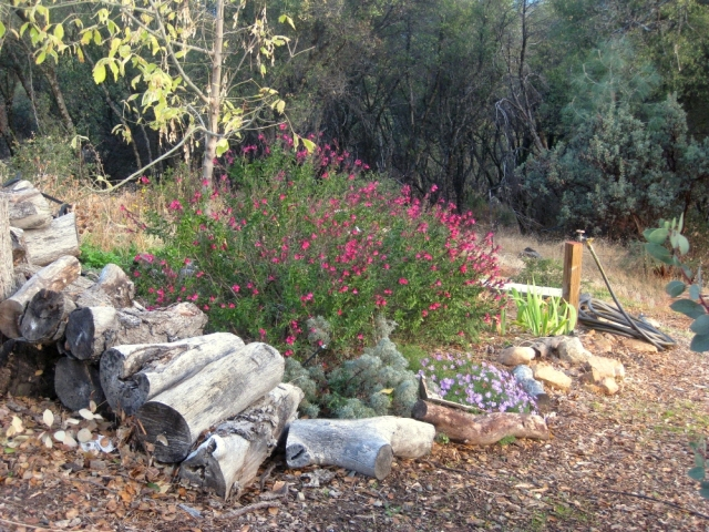 Magenta Autumn sage, Salvia greggii 'Lipstick', in the box Elder bed glows against the forest beyond
