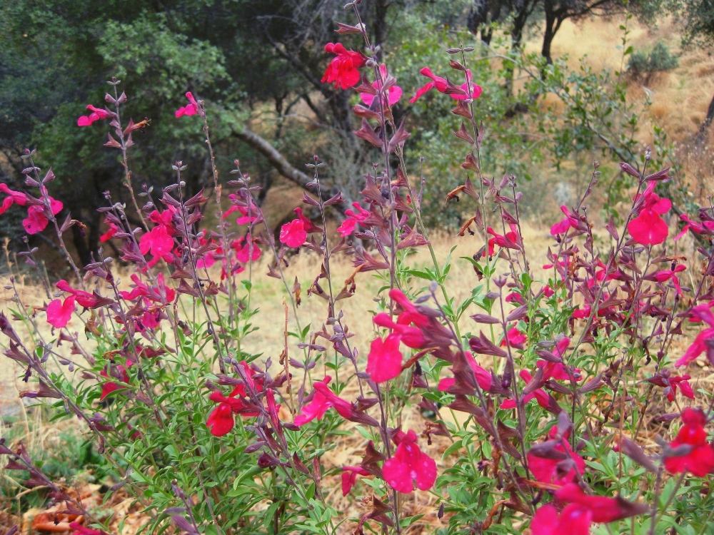 A Garden Seasoned With Autumn Sage Sierra Foothill Garden