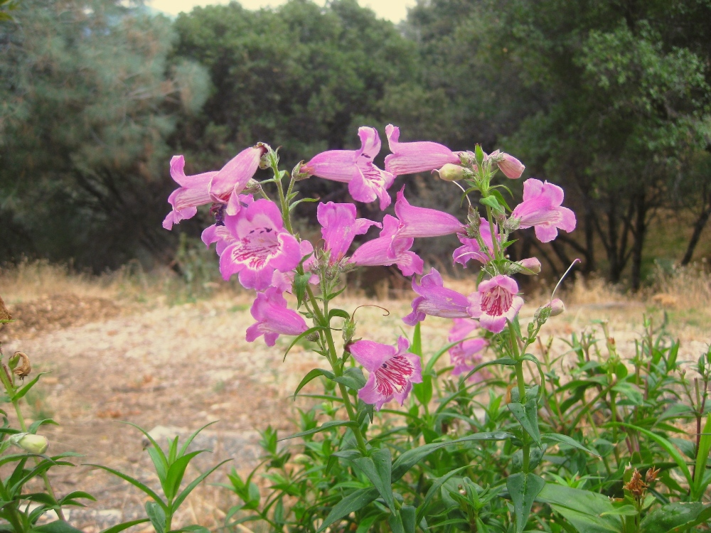 This Penstemon 'Violet Dusk' was one of my bargain $1 plants planted last fall.