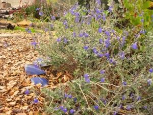 Blue Oak Sage, Salvia chamaedryoides