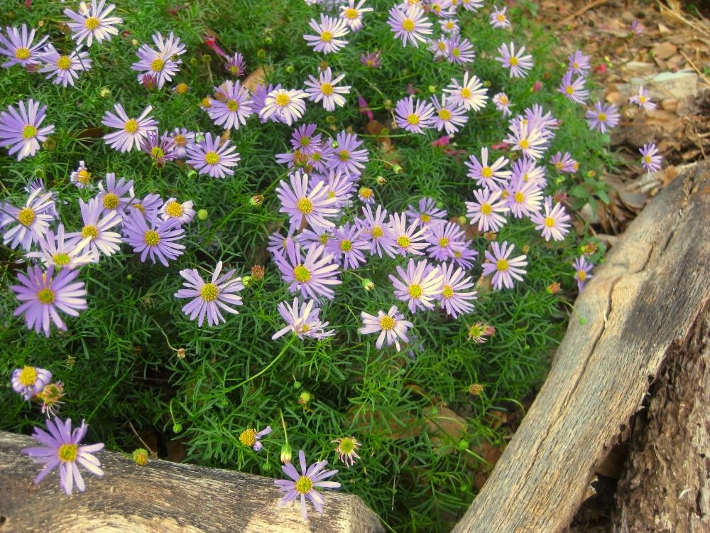 Cushiony Brachyscome multifida has a thousand tiny blooms