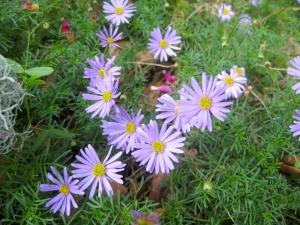 Cut leaf daisy or Brachyscome multifida