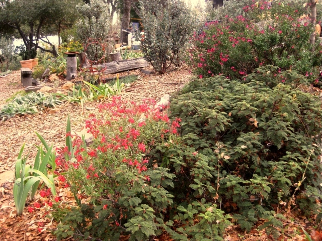 A red and magenta sage on either side of some native Bear Clover, Chamaebatia foliolosa