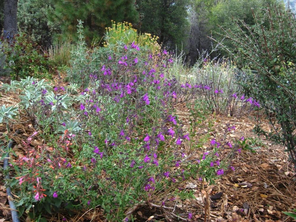 Salvia greggii 'Mesa Azure' is stunning, I think