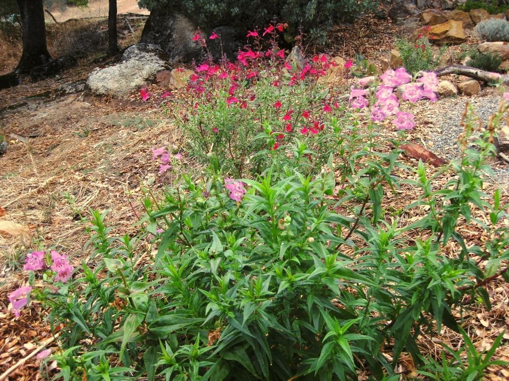 Penstemon 'Violet Dusk' near a red Autumn sage