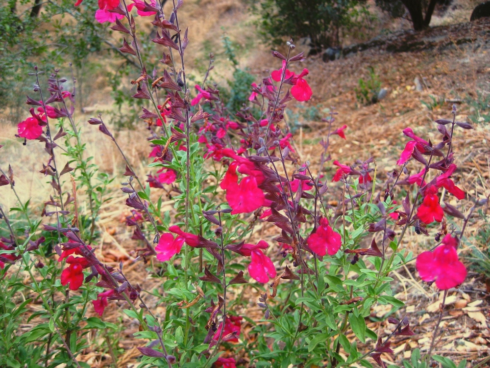 Picture of Live Autumn Sage (red) aka Salvia greggii 'Flame' Plant Fit 1 Gallon Pot