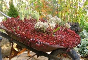 Dragon's Blood sedum, Ghost Plant, Finger Aloe