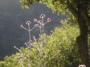 Verbena bonariensis and Oaks