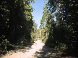 Backroads filled with pines, firs and cedars