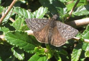 Butterfly or 'Skipper' in the genus Erynnis