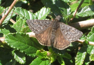 Butterfly or 'Skipper' in the genus Erynnis