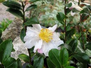 Camellia sasanqua 'Hana Jiman'