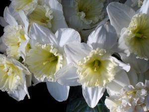 'Ice Follies' Daffodils