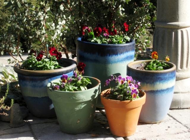 Pots of violas in December