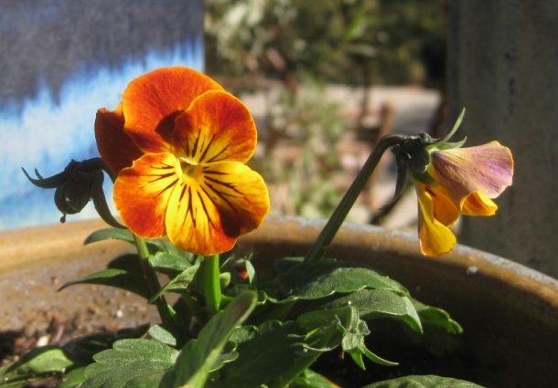 Viola 'Angel Amber Kiss'
