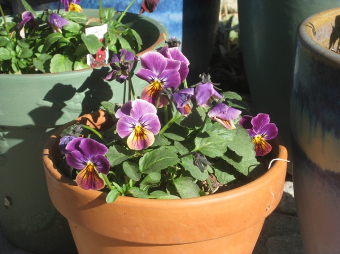 Viola 'Lilac Rose' goes well in terra cotta