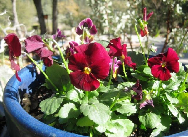 Viola 'Red Blotch'